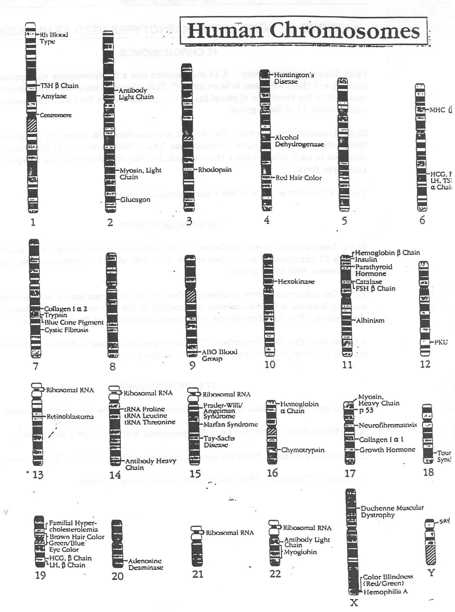 worksheet. Karyotype Worksheet. Worksheet Fun Worksheet