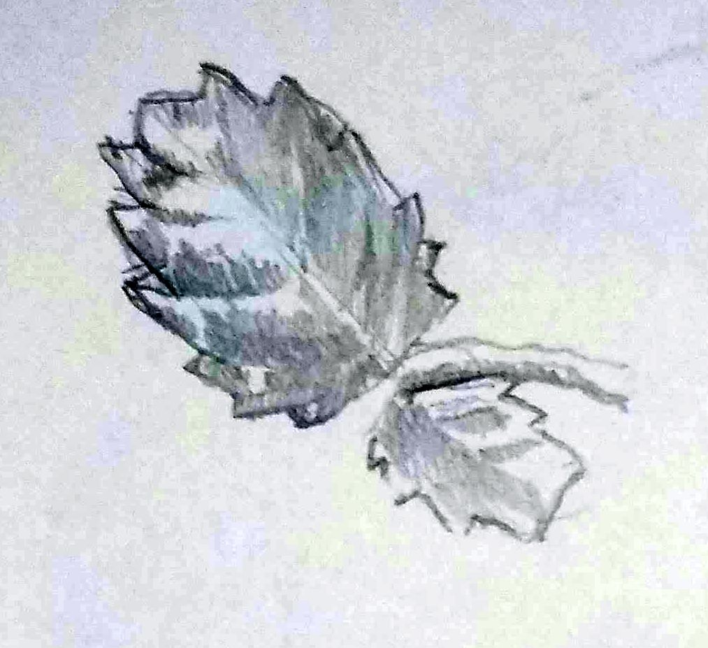 Pencil sketch of mint leaves