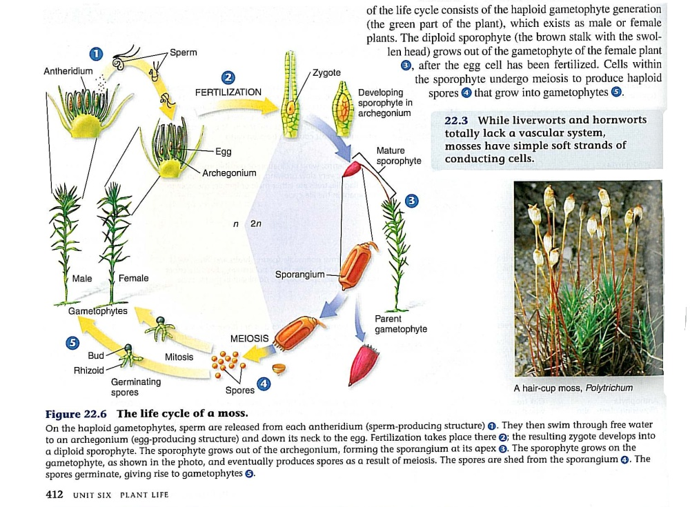 Moss Life Cycle Diagram