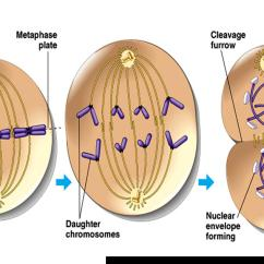 Stages Of Mitosis Diagram Labeled R33 Rb25det Wiring Foundations Study Questions