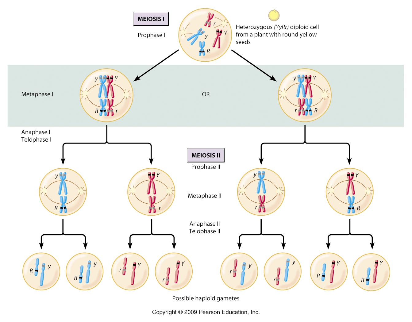 6 chromosomes crossing over diagram jeep wiring download mitosis and meiosis a level biology