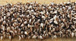 northGooseneckbarnacles