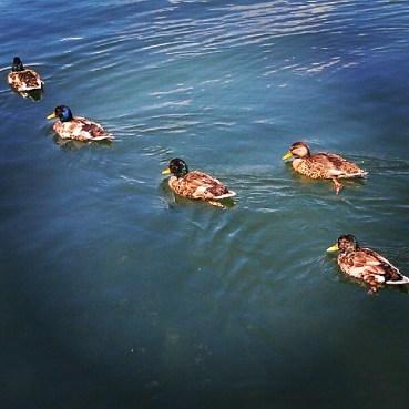 Ducks in the marina at Ashbridge's Bay Park