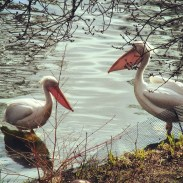 Pelicans in the lake at Green Park