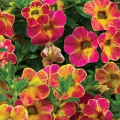Calibrachoa Chameleon Sunshine Berry