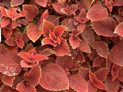 Coleus Ox Blood