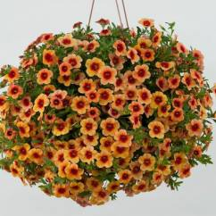 Calibrachoa NOA Sunset