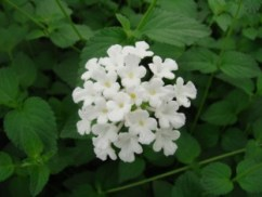 Lantana Trailing White