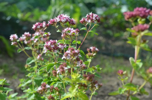 Oregano-Blüten am 7. August 2016