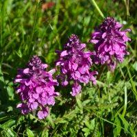 Pedicularis verticillata, familjen lejongapsväxter