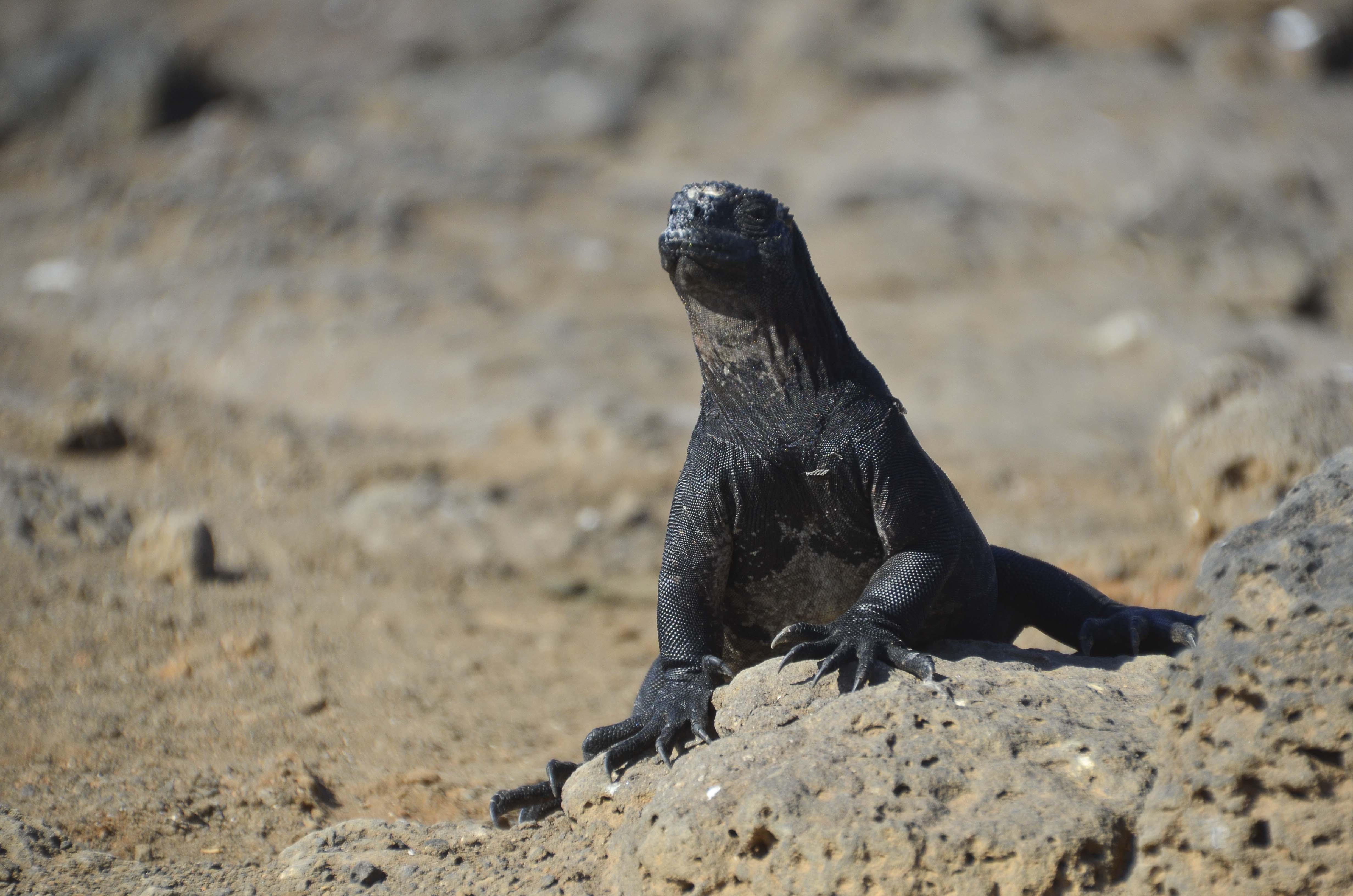 Marine Iguana – Galápagos