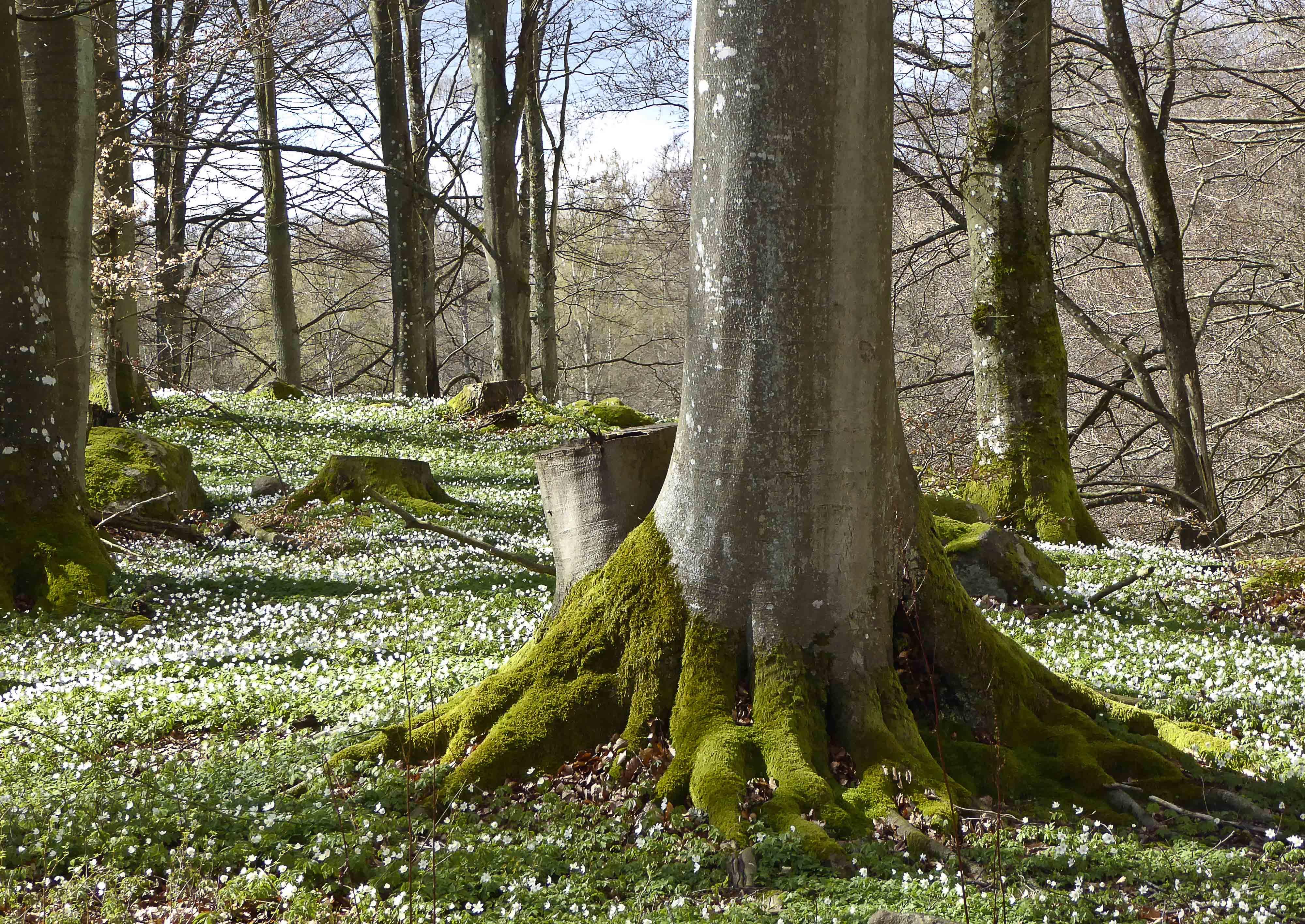 Spring Tree, Anemonies
