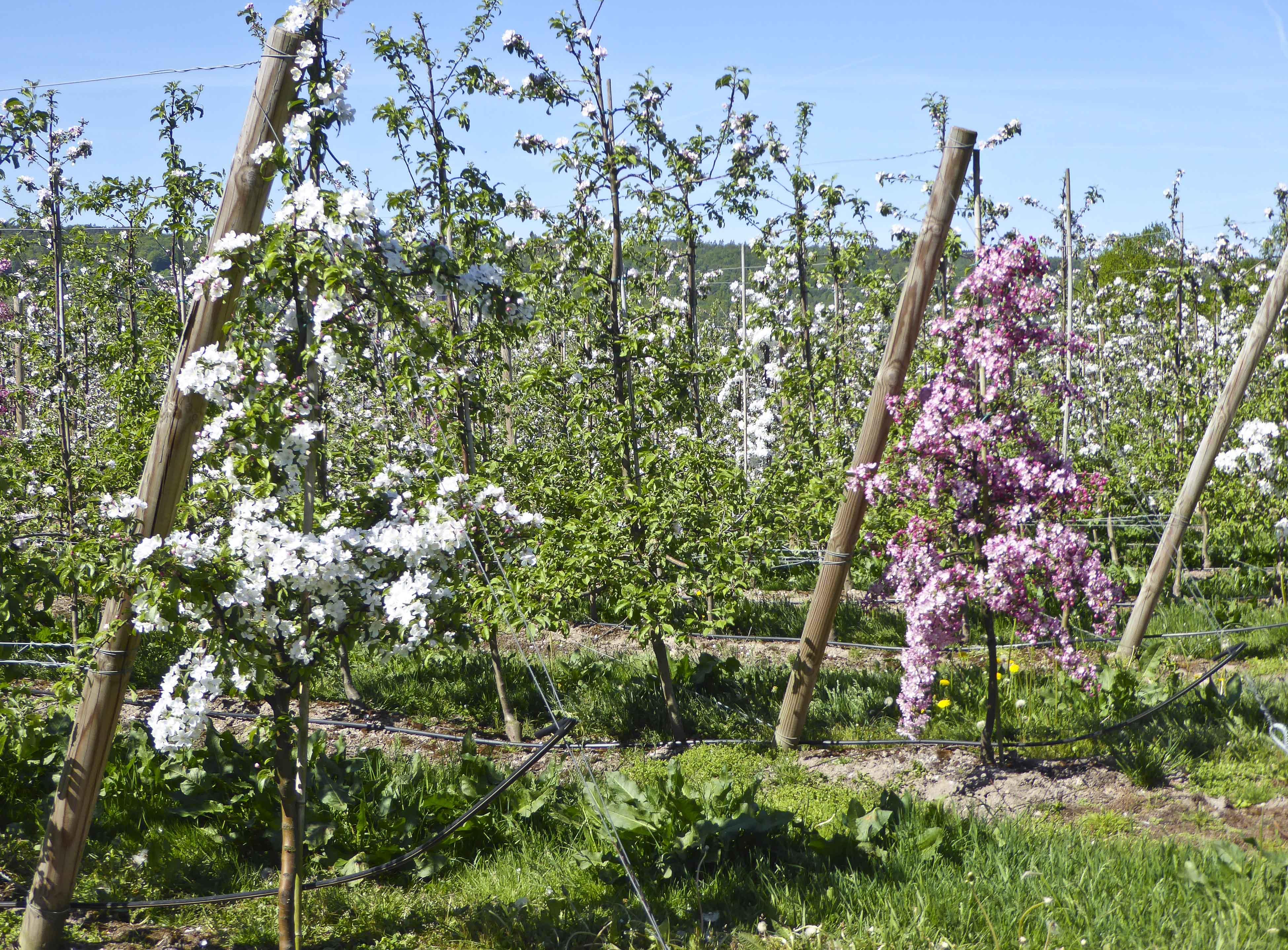 Apple Blossom – Arkelstorp