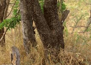 hidden+leopard