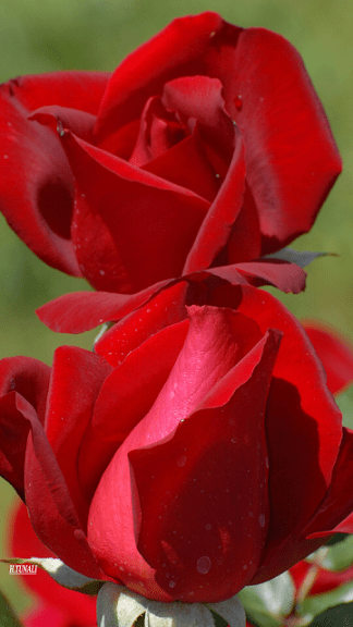 Good Morning Red Roses And Bouquets For The Weekend Failure To Listen