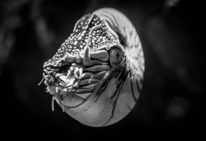 Gorgeous chambered nautilus.