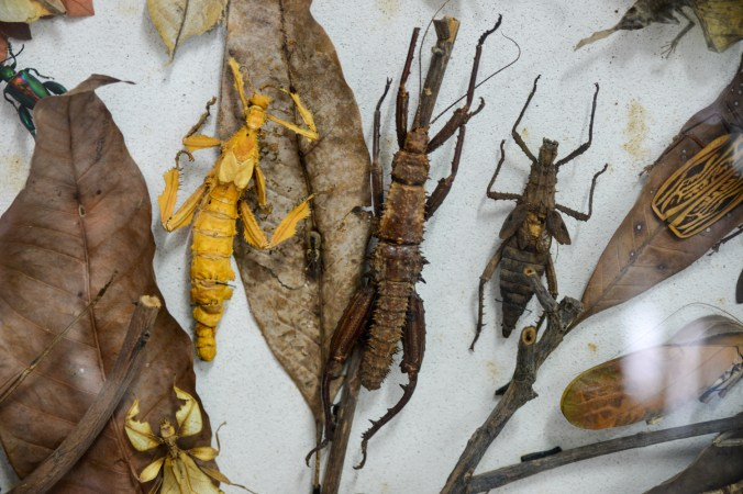 Stick insects, sundry.