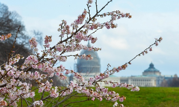 December cherry blossoms in DC (photo: Bao Dandan/Xinhua Press/Corbis)