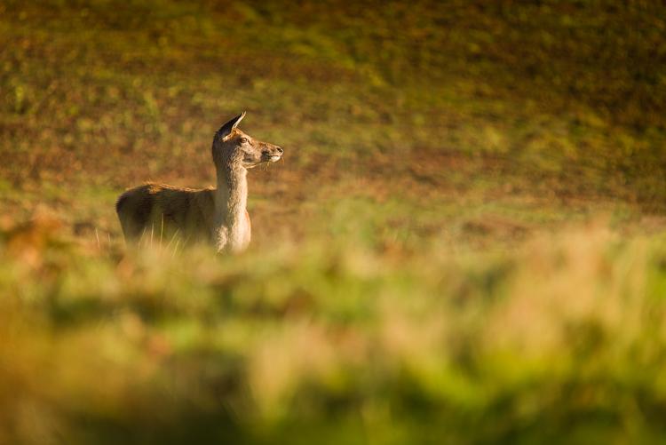 Red deer hind in field