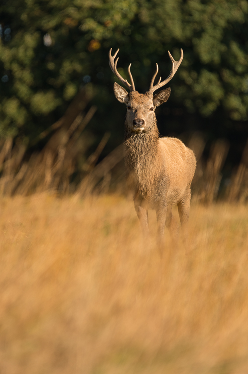 Young stag photographed through long grass