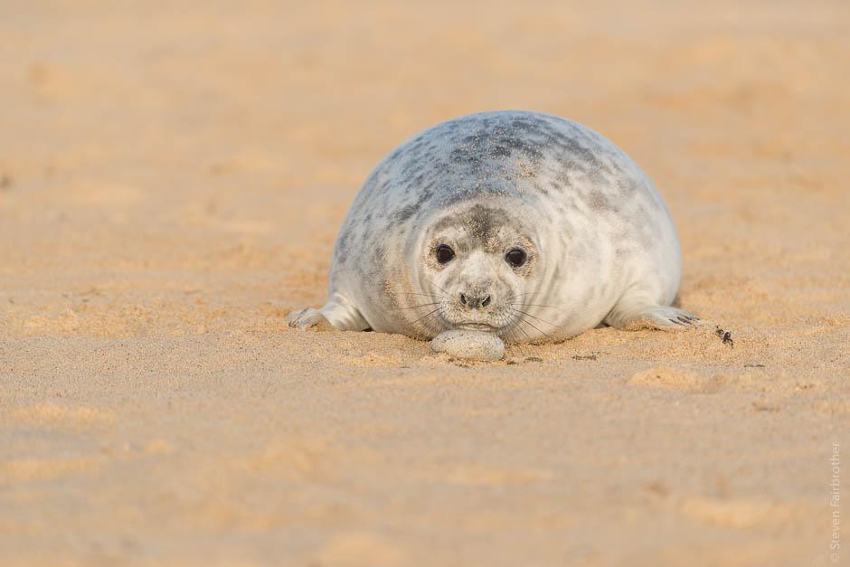 winterton-beach-seals-2016-10