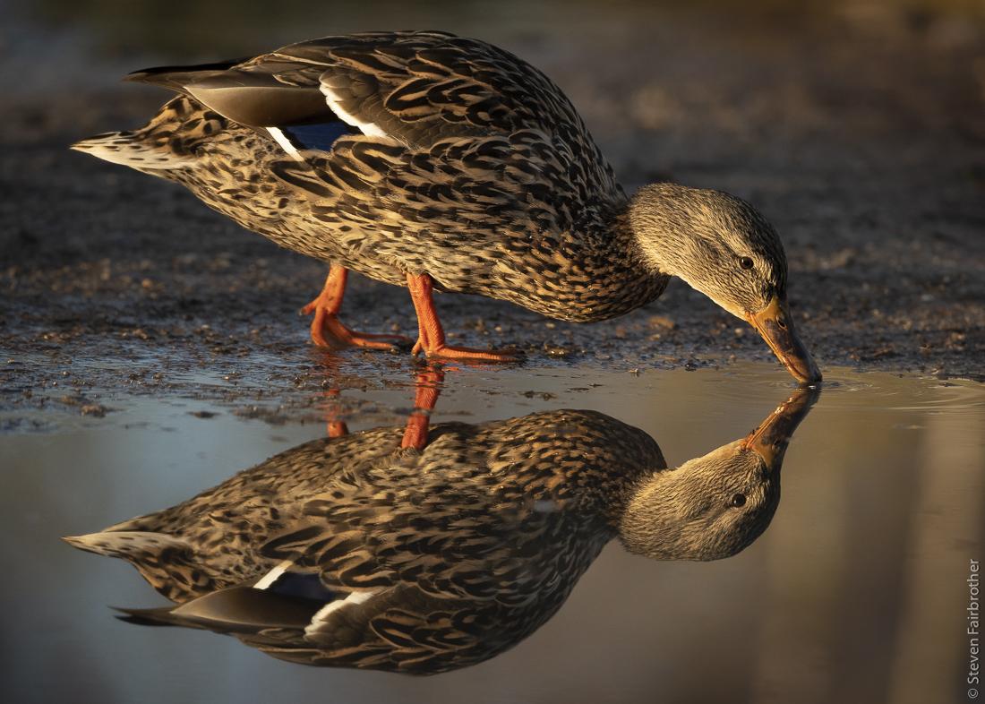 duck selecting in pool, wildlife camera club talk
