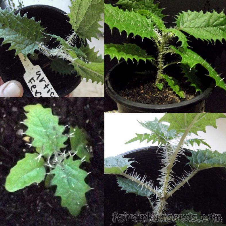 Urtica Ferox Fierce Nettle Ongaonga Seeds  Fair Dinkum Seeds