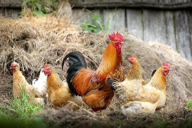 Consommation éco-responsable poulets en plein air