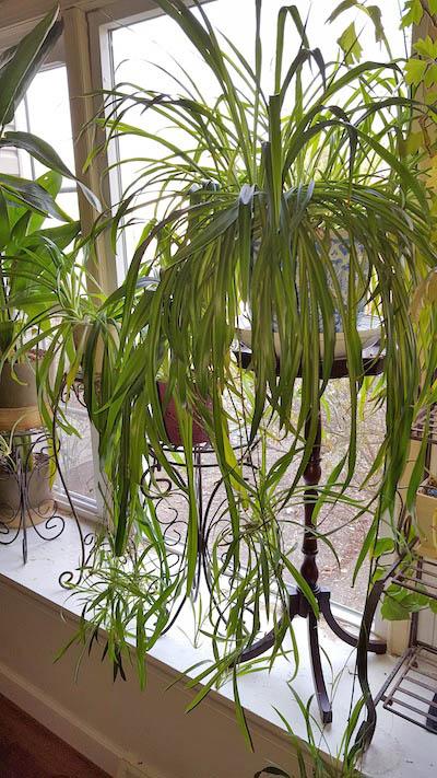 spider plant fairfax gardening