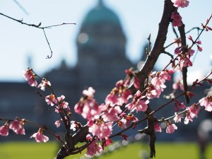 Cherry Blossoms near Legislature in spring in Victoria, British Columbia, Canada