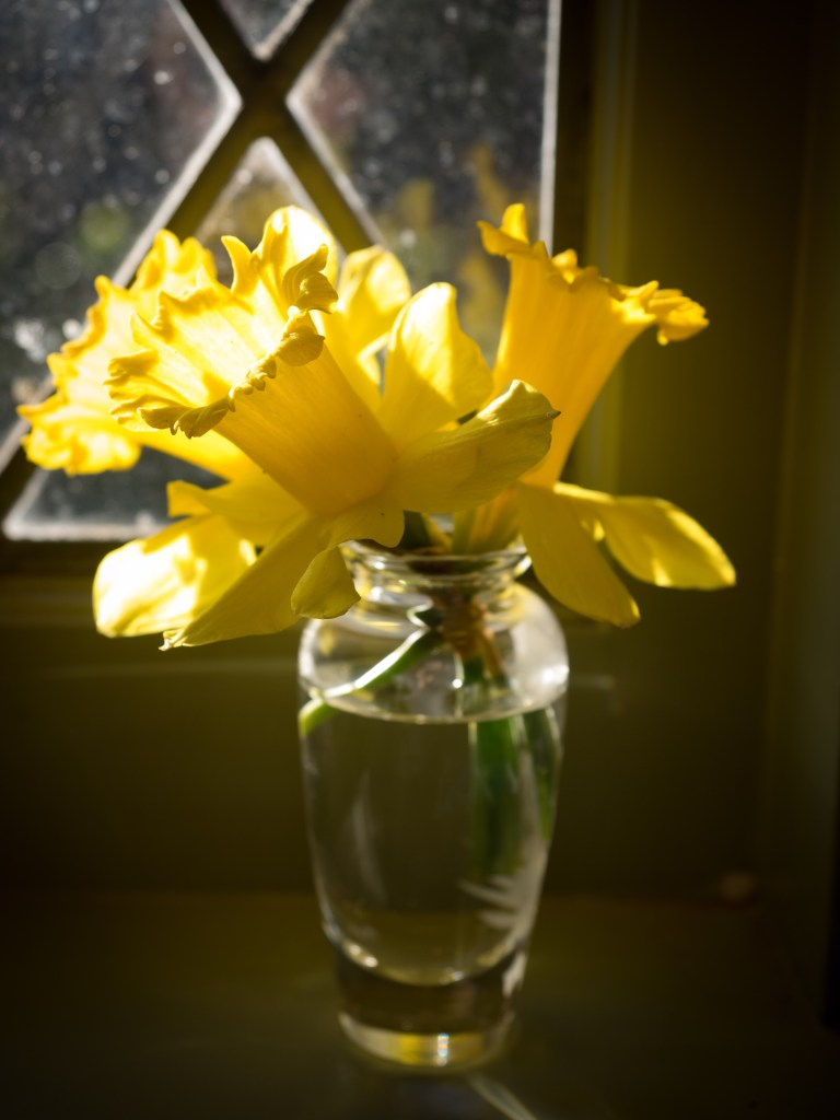 Yellow daffodils in glass vase, in window. Three daffodil blossoms in vase are in full sunshine. close-up photo of spring flowers taken indoors