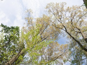 Maple, elm and oak trees in spring with small new leaves. Looking up.