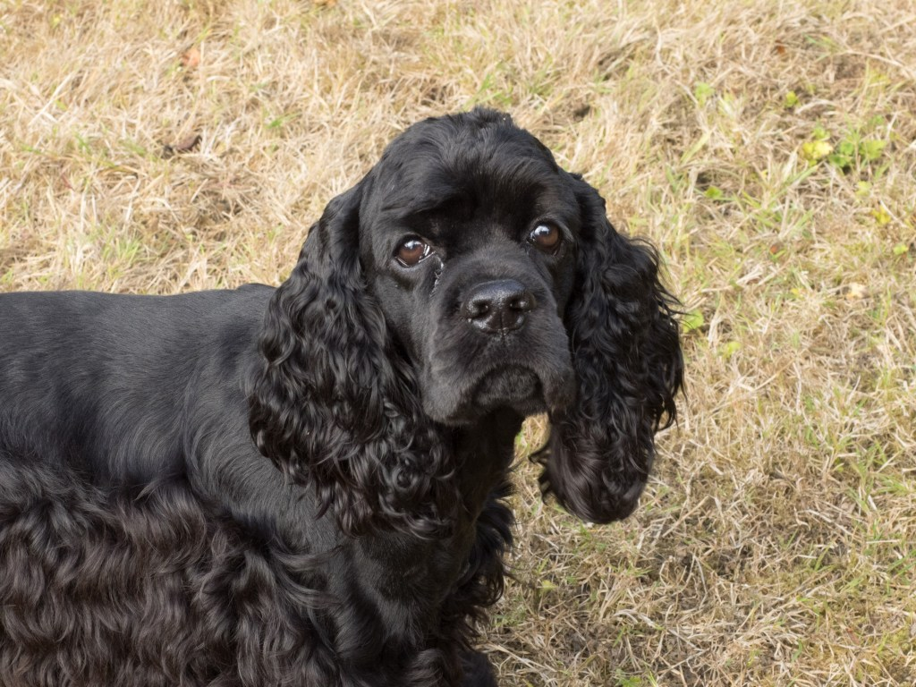 Black American Cocker Spaniel head and shoulders standing and looking at camera
