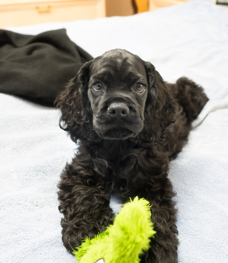 Black American Cocker Spaniel puppy lying on a bed and looking at camera