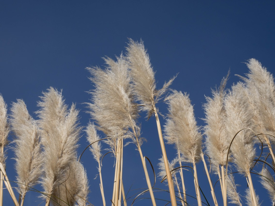 Pampas grass and blue sky