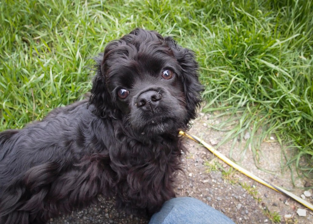 Black American Cocker Spaniel puppy named Stevie, looking over her shoulder into the camera. Closeup