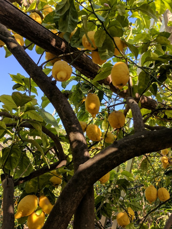 Lemons in Sorrento, Italy | Fairly Southern