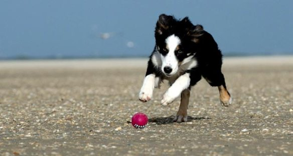 Puppy exercise needs: plahying fetch is great fun for them.