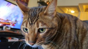 The Toyger cat