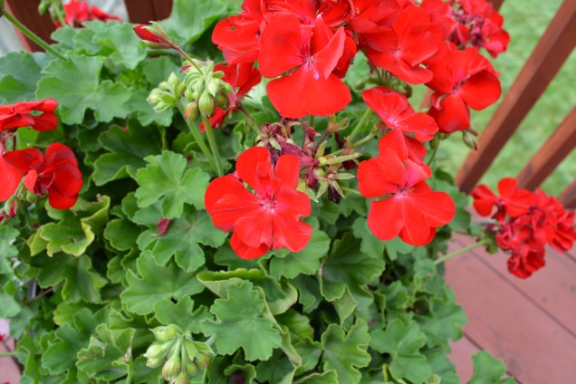 Geraniums on the deck.
