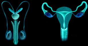 Human male & female reproductive organs - FairPlayForWomen.com