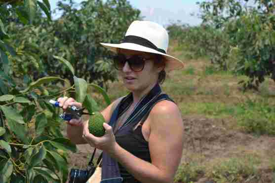 Sophie from Fairtrasa tries her hand at cutting an avocado from the tree