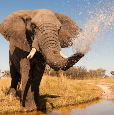 Elephant - spraying water, close up copy