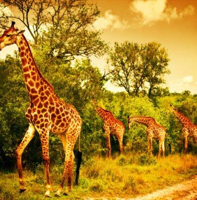Giraffes feeding sunset