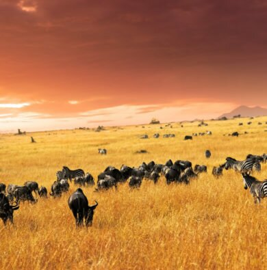 Wildebeest and zebra migration sunset