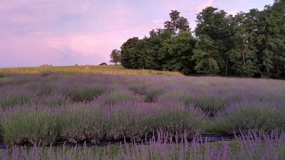 Welcome to Fairview Lavender Farm - Keep Calm and Smell the