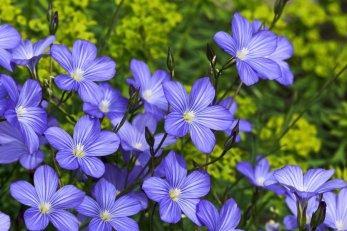 Fleur de lin isolant maison coproduit