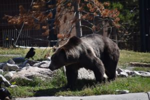 A bear hunting for food. The Grizzly and Wolfe Discovery center is one of the must do activities in yellowstone!