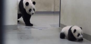 panda escapes nap