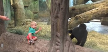 young gorilla plays peek a boo toddler